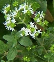 Marjoram flowering